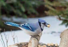 Bluejay на ветви Стоковые Изображения