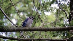 Bluejay садить на насест на ветви дерева видеоматериал