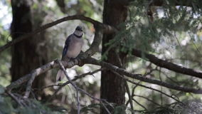 Bluejay садить на насест на ветви дерева сток-видео