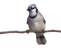 bluejay свое движение затем обдумывает Стоковое Фото