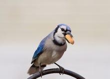 Bluejay с арахисом Стоковое Изображение RF