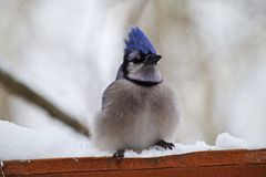 Bluejay. A Bluejay is perched, waiting it's turn to eat Royalty Free Stock Images