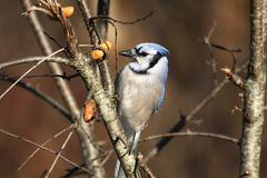 Bluejay Royalty Free Stock Photography