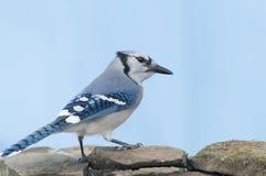 Bluejay. A bluejay bird standing on a rock bird-feeder Stock Photography