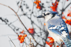 Bluejay Foto de Stock Royalty Free
