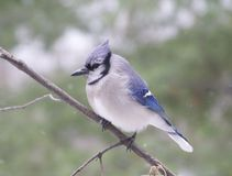 Bluejay Stock Photography