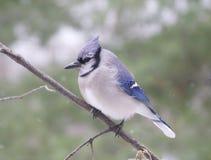 Bluejay stock fotografie