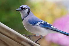 Bluejay Royalty-vrije Stock Fotografie