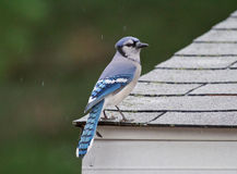 Bluejay Stock Foto
