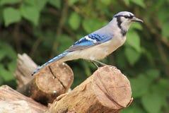 Bluejay. Beautiful Blue Jay enjoying the summer sun Royalty Free Stock Image