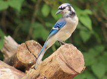 Bluejay. Beautiful Blue Jay enjoying the summer sun Royalty Free Stock Photography