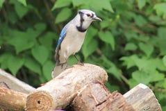 Bluejay. Beautiful Blue Jay enjoying the summer sun Royalty Free Stock Photo