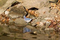 Bluejay bij de rivierenrand stock afbeeldingen