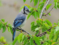 Bluejay or Blue jay Stock Images