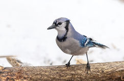 Bluejay on a branch Stock Images