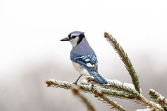 Bluejay on a branch Stock Photos