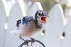 Bluejay Chick on Fence Royalty Free Stock Photos