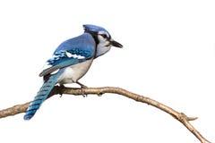 Bluejay die van achter zitting op tak wordt voorgesteld Stock Fotografie