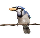 Bluejay displays his tasty peanut treat. Bluejay hold is prize peanut in its beak. straight on view of a bluejay, head tilted to side breast and underside of stock photos
