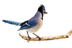 Bluejay displays its plumage. A bluejay surveying the area while standing on a branch; white background stock image