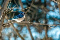 Bluejay do inverno Imagem de Stock Royalty Free