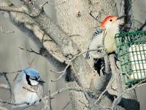 Bluejay e pica-pau Vermelho-inchado que sentam-se em ramos perto de um alimentador do sebo Imagem de Stock