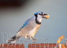 Bluejay Eating Peanuts Royalty Free Stock Images