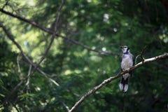 Bluejay empoleirado em um ramo de árvore foto de stock
