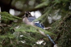 Bluejay empoleirado em um ramo de árvore imagem de stock