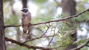 Bluejay empoleirado em um ramo de árvore vídeos de arquivo