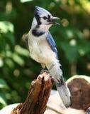 Bluejay. Enjoying the beautiful day Royalty Free Stock Images