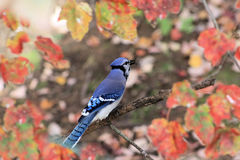 Bluejay and Fall Leaves Stock Photos