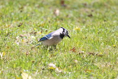Bluejay in field Royalty Free Stock Images