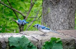Bluejay flying in to his mate. A bluejay flies in to meet his mate, who is standing on a stone wall in the garden. Both female and male look the same, however stock photography
