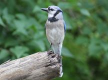 Bluejay. Just hanging around enjoying the view Royalty Free Stock Photos