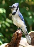 Bluejay. Just hanging around enjoying the view Royalty Free Stock Images