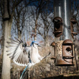 Bluejay Landing on a Bird Feeder Stock Images