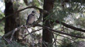 Bluejay op een boomtak die wordt neergestreken stock video