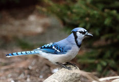 Bluejay op een tak Royalty-vrije Stock Foto's