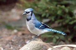 Bluejay op een tak Stock Foto's