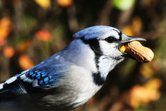 Bluejay with Peanut Stock Image