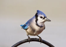 Bluejay with a peanut Royalty Free Stock Image