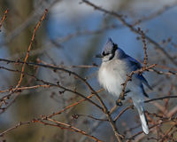 Bluejay perched Royalty Free Stock Photos