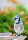 Bluejay Stock Image