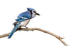 Bluejay pictured from behind sitting on branch. White background stock photography
