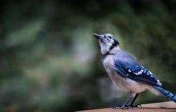 Bluejay que senta-se nos trilhos de uma plataforma da casa de campo imagem de stock royalty free
