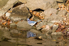 Bluejay at the rivers edge Stock Images
