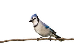 Bluejay sitting on brach with head slightly cocked Stock Photos