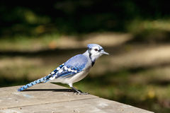 Bluejay Stock Photos