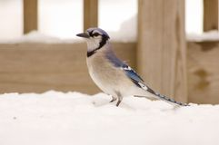 Bluejay in the snow Royalty Free Stock Photo